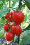 'Enchantment' Tomatoes are a Good Choice for Cool-Summer Gardens