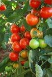 Tomato Varieties–'Sweet Cluster'