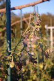 Tomato Diseases–'Western Yellows'