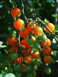 Cherry Tomato Varieties—'Sungold' 2