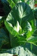 'Academic' (Pointy-Headed) Cabbage, a.k.a., 'Caraflex'