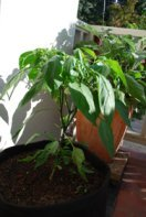 'Early Jalapeno' in a 7-gallon Smart Pot with Organic Soil Amendments, 5 Weeks After Transplanting