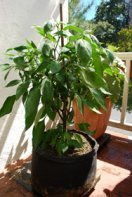 'Early Jalapeno' in a 7-gallon Smart Pot with Organic Soil Amendments, 9 Weeks After Transplanting