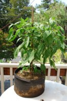 'Early Jalapeno' in a 7-gallon Smart Pot with Organic Soil Amendments, 10 Weeks After Transplanting