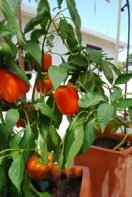Growing Peppers—'Gourmet' Orange Bell Pepper