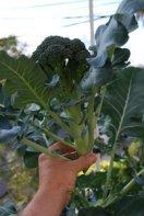 Harvesting Broccoli—'Diplomat' 3