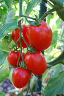 Tomato Varieties—'Enchantment' 2