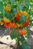 Pepper Variety 'Alma Paprika' 2