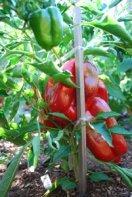 Pepper Variety 'Vidi' 1