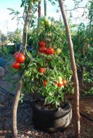 'Carmello' Heirloom Tomato in a 10-gallon Smart Pot
