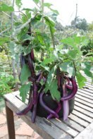 Growing Eggplant 'Farmer's Long Purple' in a 7-gallon Smart Pot