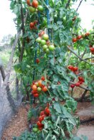 Growing Tomatoes 'Italian Grandfather Style'—'Sweet Cluster' Spiral 1