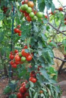 """Growing Tomatoes 'Italian-Grandfather-style':  Train the Plant to 1 or 2 Leaders and Spiral Them Up a Stake, Tying Every 8"""".  Fruit Sets in Fat Clusters Along the Stake"""