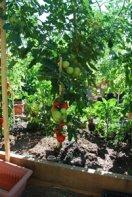 Tomato Varieties—'San Francisco Fog' on the Vine 1