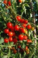 Tomato Varieties—'Stupice' on the Vine