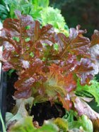 Growing Looseleaf Lettuce—'Blushed Butter Oak'