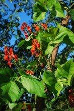 Scarlet Runner Beans Flowering