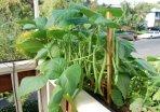 Growing Green Beans ('Jade') in a Window Box