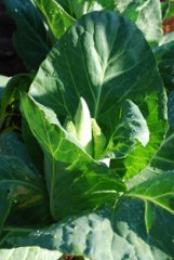 Cabbage Varieties—'Caraflex'