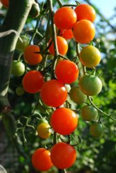 Tomato Varieties—'Sungold' on the Vine