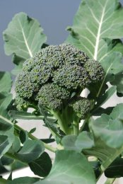 Broccoli Varieties—'Arcadia' 1