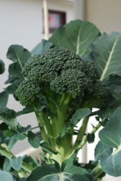 Broccoli Varieties—'Diplomat' 1