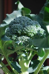 Broccoli Varieties—'Marathon' 1