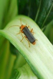 Soldier  Beetles are Voracious Aphid Predators