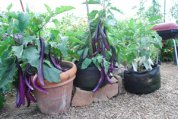Eggplants Growing in 7-gallon Smart Pots