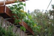Green Beans Growing in Balcony Farm Window Boxes