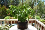 'Early Jalapeno' Growing in a 7-gallon Smart Pot with Organic Soil Amendments, 3 Months after Transplanting