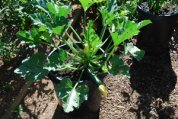 Growing Squash in Containers—Zucchini 'Raven'