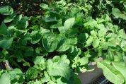 Growing Arugula in a Salad Tray