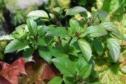 Basil Varieties—'Mexican Cinnamon'