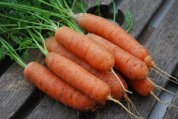 'Babette' Carrots, a 'Mini' Carrot Variety Suitable for Growing in Containers and Heavy or Rocky Soils