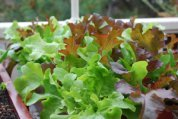 Growing Red and Green Oakleaf Lettuce in a Salad Table