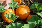 Pumpkin Varieties—'Sugar'