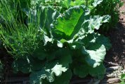 Growing Rhubarb