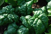 Growing Spinach—'Tyee' 3