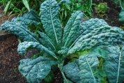 'Lacinato', a.k.a. 'Dinosaur' Kale