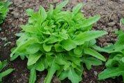 Lettuce Varieties—'Green Leaf', Student Garden, Stanford University