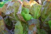 Lettuce 'Mervielles de quatre Saison', a.k.a., 'Continuity' 4