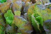 Lettuce 'Mervielles de quatre Saison', a.k.a., 'Continuity' 5