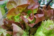 Lettuce Varieties 'Skyphos' Closeup
