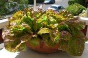 Container Lettuce 'Mervielles des Quatre Saison'