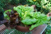 Container Lettuce 'Skyphos' <br/>and 'Matchless'