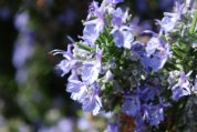Rosemary 'Tuscan Blue'—Closeup of Flowers