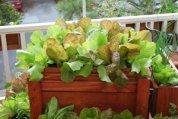 SaladScape of 'Santoro' and 'Mervielles de quatre Saison' (a.k.a., 'Continuity') Lettuce 1