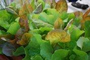 SaladScape of 'Santoro' and 'Mervielles de quatre Saison' (a.k.a., 'Continuity') Lettuce 4