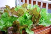 SaladScape of 'Santoro' and 'Mervielles de quatre Saison' (a.k.a., 'Continuity') Lettuce 5
